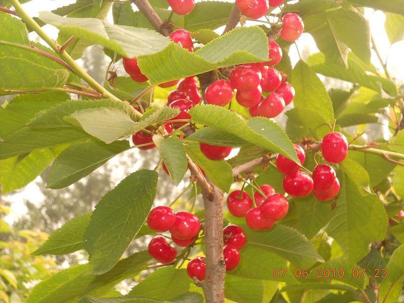 桃树图片 桃树样板图 樱桃树 昌黎县绿艺果树发展