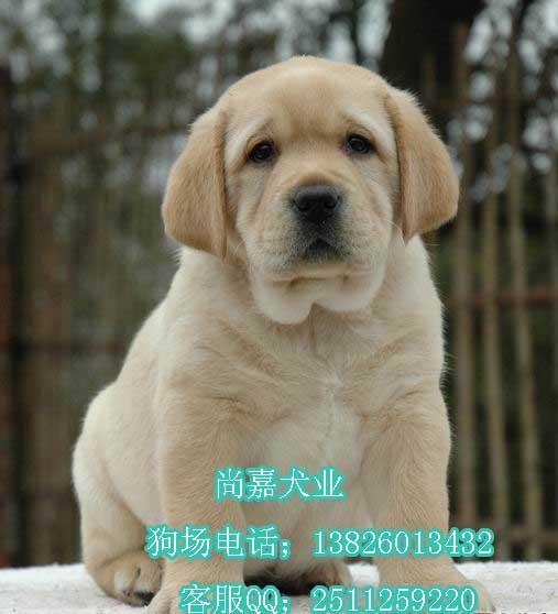 广州哪里可以买到拉布拉多猎犬 广州拉布拉多猎犬大概价高清图片