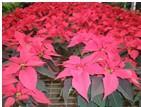 供應豐葉林植物花木批發零售夏季家庭圖片