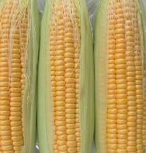 供应水果玉米批发