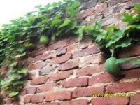 供应瓜蒌种子种苗