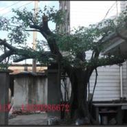 泰安古树大门图片