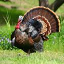 供应万州吐绶鸡,万州吐绶鸡供货商,万州吐绶鸡养殖基地