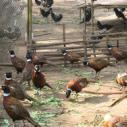 供应万州野鸡苗子,万州野鸡苗子批发商,万州野鸡苗子供货商