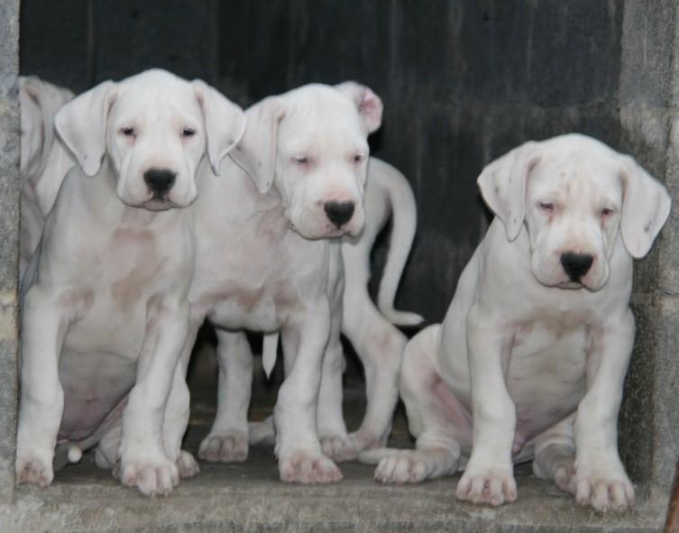 哪里有卖杜高犬图片/哪里有卖杜高犬样板图