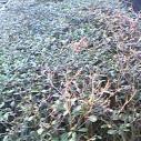 福建小叶榄仁苗哪里找海南义昆苗圃图片