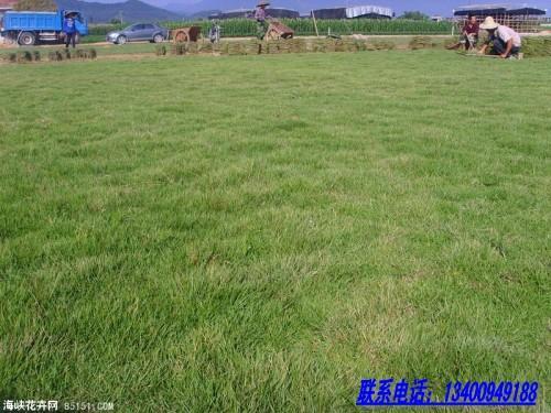 马尼拉草 大叶油草 冷季型草坪