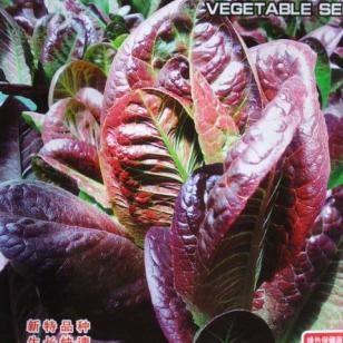野菜咖啡香麦菜种子图片