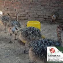 供应冯氏非洲鸵鸟苗的价格与养殖