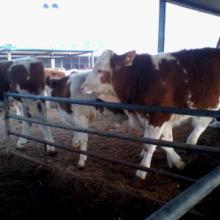 供应西门塔尔牛的价格,西门塔尔牛的价格,西门塔尔牛的价格批发