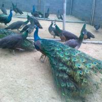 供应怀化孔雀苗孔雀商品养殖