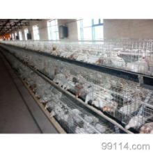 供应禽类/青年鸡