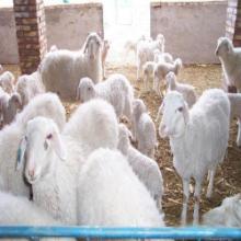 供应种羊小尾寒羊批发