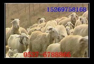 供应兴安盟小尾寒羊兴安盟小尾寒羊公羊