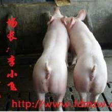供应猪场仔猪价格行情养殖供求信息苗猪