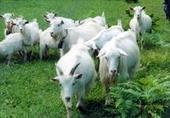 桂林白山羊价格白山羊育肥技术图片