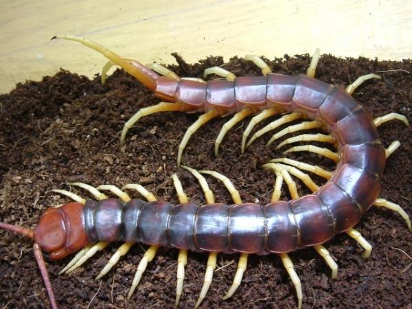 蜈蚣红头的好养殖图片
