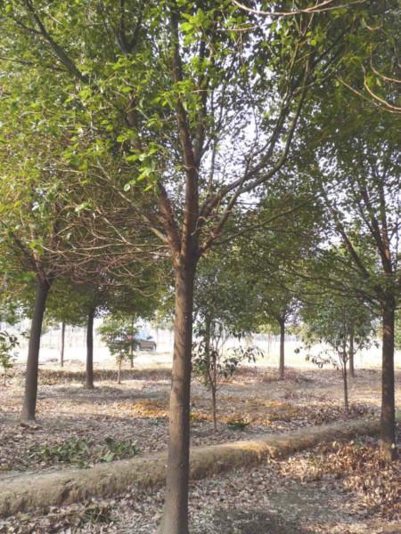 供应黄山栾树/黄山栾树供应商/黄山栾树种植基地