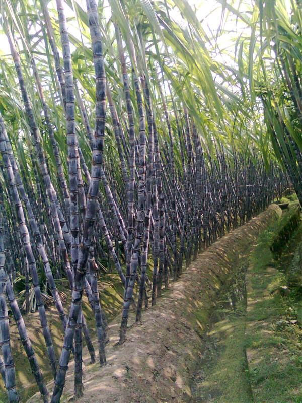 广西甘蔗批发图片