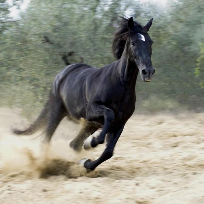 武漢阿拉伯馬廠家出售/武漢阿拉伯馬租賃價格/燕龍國際馬業圖片