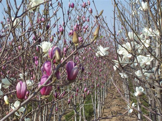 香椿树桩 香椿图片 香椿拌豆腐 香椿是什么