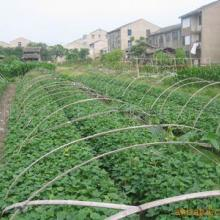 供应种苗红薯苗13脱毒高产红薯苗基地一级红薯苗