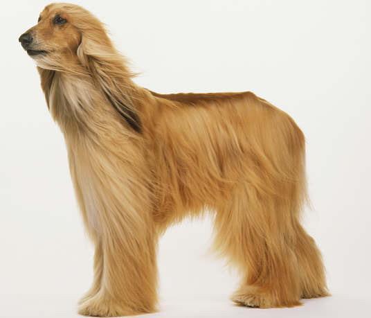 阿富汗犬是哪个国家的_阿富汗犬吧_阿富汗犬价格