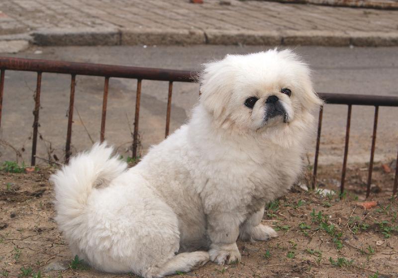 北京犬(pekingese)