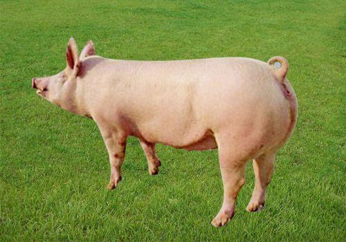 生猪图片|生猪样板图|今日贵州生猪多少钱一斤