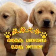 宠物狗拉布拉多犬图片