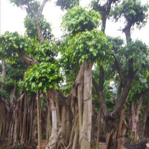 浙江福建广东沙西漳州榕树盆景图片