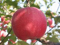 供应苹果醋粉批发