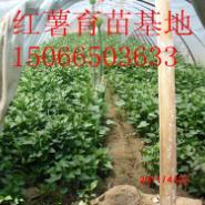 高产早熟红香蕉地瓜红薯苗图片