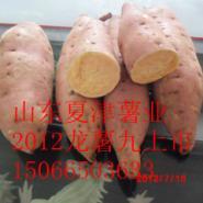 每天报价龙薯九号地瓜基地价图片