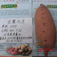 黑龙江龙薯九地瓜图片