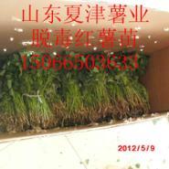 红薯苗甘薯苗地瓜苗图片