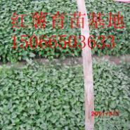 山东龙薯九号地瓜红薯苗图片