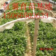 高产红香蕉地瓜苗图片