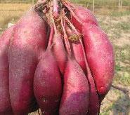脱毒商薯19种薯种苗图片