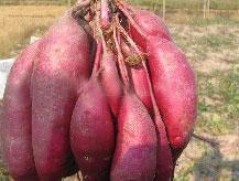 商薯19鲜食淀粉型地瓜图片