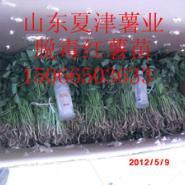 红薯苗价格图片