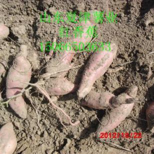 地瓜坊专用沙土地瓜138龙薯九图片