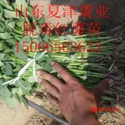 大连地区红香蕉地瓜苗图片