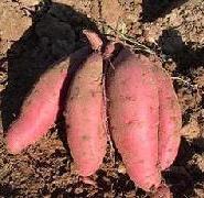 山东商薯19图片