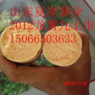 7月中旬开始上市龙薯九图片