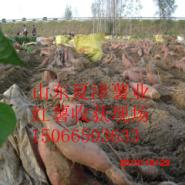 烟台蜜红薯烤地瓜专用型地瓜种苗图片