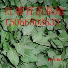 供应合作种植地瓜