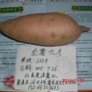 龙薯九号地瓜甘肃兰州庆阳天水专供图片