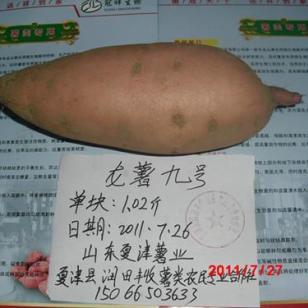 遗字138龙薯九号尽在山东夏津薯业图片