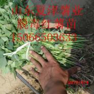 邯郸地区红香蕉地瓜苗图片